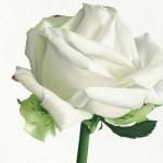 andrew-stephanie-rose-blanche-i.jpg